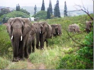 Elephants paying respects